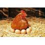 Huevos Caseros De Gallinas Alimentadas En Qta Organica