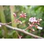 Carambola O Fruta Estrella Plantas Tropicales