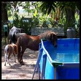Venta De Petizos Ponys