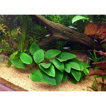 Planta Acuatica, Anubias Var.nana