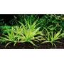 Heteranthera Zosterifolia- Plantas Acuaticas Tropicalesx3