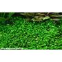 Marsilea Crenata - Planta Tapizante De Acuarios