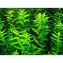 Rotala Green - Planta De Acuario