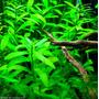 Hygrophila Polysperma. Precio X 3 Tallos!!