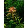 Rotala Rotundifolia - Planta De Acuario