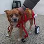 Carro 4 Ruedas Para Rehabilitacion De Perros