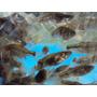 Madrecitas,tosqueros Mojarras Para Alimento 250 Unidades
