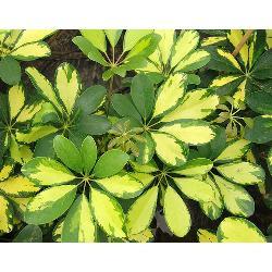 Aralia schefflera arbusto plantas de interior vivero - Arbustos de interior ...