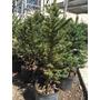 Arbol Pino Natural Navideño Abeto Picea Engelmani 100/1,50