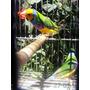 Gouldianfinch - Pichones Con El Color Terminado