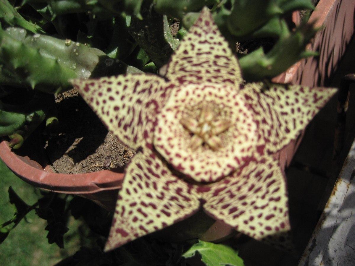 Cactus de flor atigrada stapelia for Donde venden cactus
