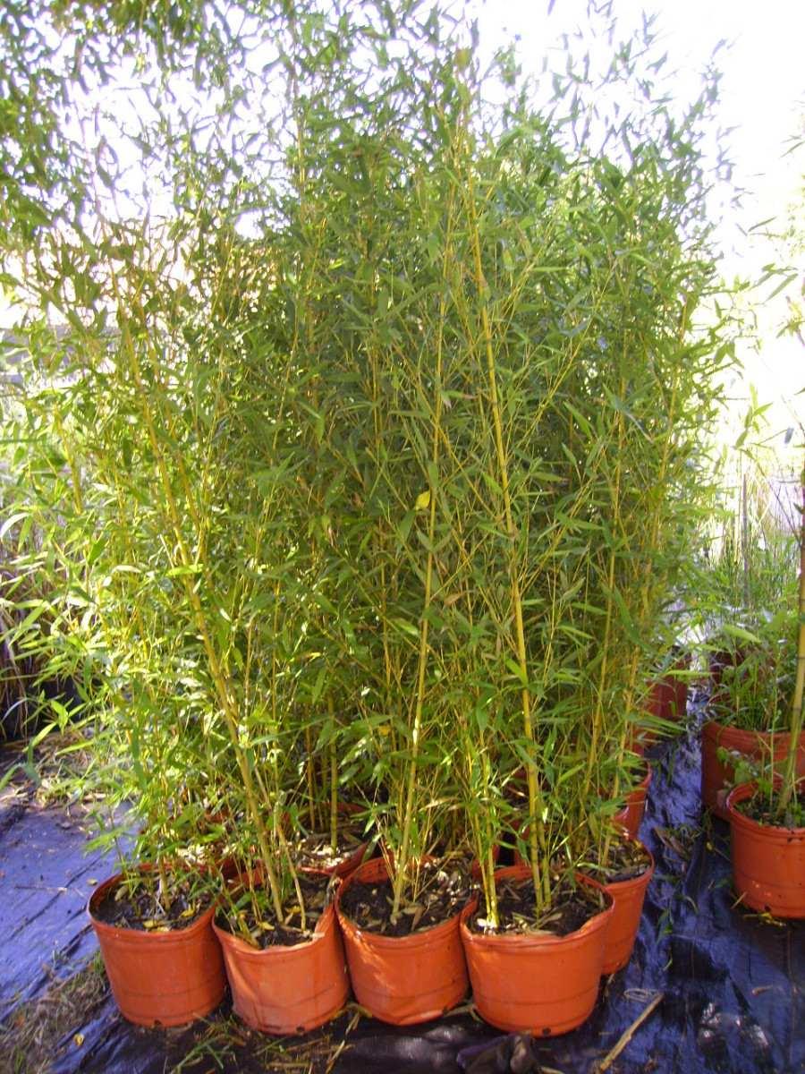 Pin re como cuidar un bey fake on pinterest - Bambu planta exterior ...