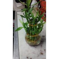 Lucky Bambu , Bambu De La Suerte
