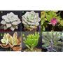 Plantas Suculentas, Cactus Crasas Y Mas
