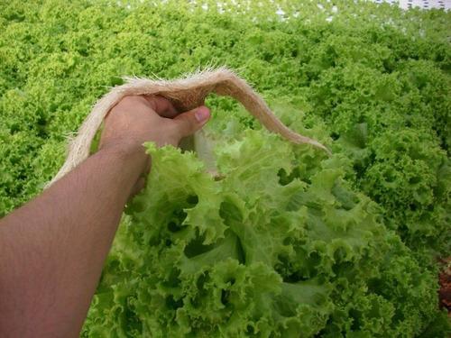 Combo Comercial Cultivo En Hidroponia De Lechugas 500 Uni.