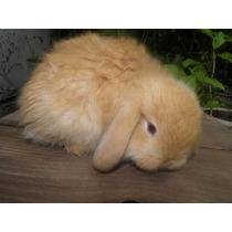 Conejos Holland Lop Enanos De Orejas Caidas