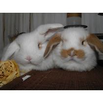 Conejos Holland Lop Enanos De Orejas Caidas.