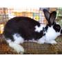 Conejos Gigante Mariposa (hasta 6/7 Kg) - Venta De Gazapos