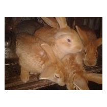 Conejos Californianos Y Leonados