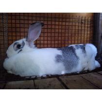 Conejos Gigante Mariposa - Venta De Gazapos