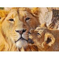 Animales Felinos Leon 80x60 Cm Mas Envio Gratis Caba !!