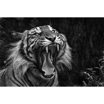 Tigre Alimales Felinos 90x60 Cm En Tela Canvas .exelente!!