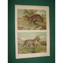 Litografia Antigua 1880 No Grabado Color Perros Buansu Dingo