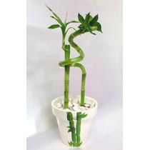 Bambú De La Suerte - Lucky Bamboo