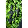 Guias De Hojas Hiedra Artificiales Verdes Ramos Flores (x2)