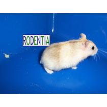 Hamster Enanos Rusos De Colores, Importados Colores Unicos.!
