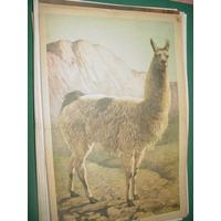 Lamina Poster Revista Billiken Fauna Americana La Llama