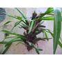 Orquídeas Miltonia Flavescens