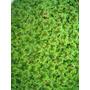 Helecho Acuático (azolla Filiculoides)