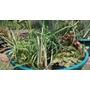 Plantas Acuaticas Para Estanques
