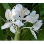 Rizoma De Caña De Ambar (hedychium Coronarium)
