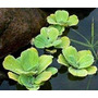 Repollitos De Agua Plantas Acuaticas