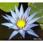 Plantas Acuaticas - Nenufares - Blue Star