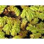 Acordeón De Agua, (salvinia Auriculata) (combo X 20 Plantas)