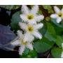 Plantas Acuaticas Estanque Estrella Camalote Repollo Otras