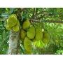 Planta De Jack Fruit