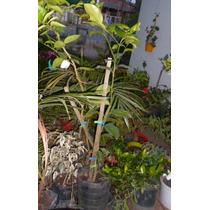 Planta Limonero Sutil (kaipiriña) 1,10, Cordoba Capital Envi