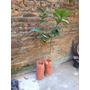 Limon Dunkan 4 Estaciones D 1 A 1,2 M Ya Florecio.frutales