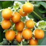 Cyphomandra Abutiloides Mini Tomate De Arbol
