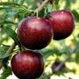 Arbol De Ciruelo Rojo E10 (frutales Todos) Envíos