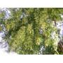Plantas Arbol Anacahuita-autoctona Arbol Medicinal Refrios