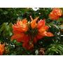 Plantas De Sphatodea O Tulipanero