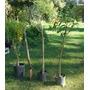 Árbol De Olivo - Hermoso Ejemplar - 1,40 M - Cañuelas