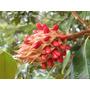 Arboles Grandes De Magnolia Grandiflora Toma Compra !