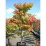 Acer Palmatum Arbol Japonés Que Cambia Colores Z/ Mataderos