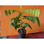 Plantines De Carambola , Fruta Comestible ,origen Costa Rica